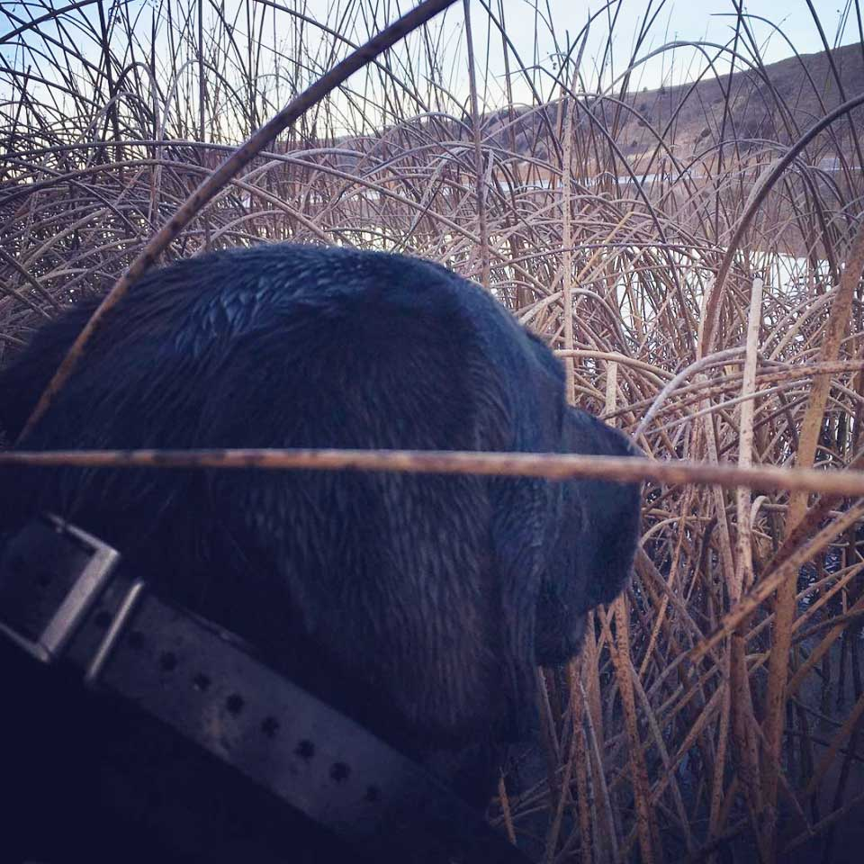 Labrador Retriever in waterfowl blind | Double A Outfitting & Gun Dogs