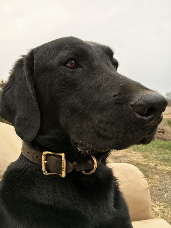 Ghost Pointing Lab | Double A Outfitting & Gun Dogs