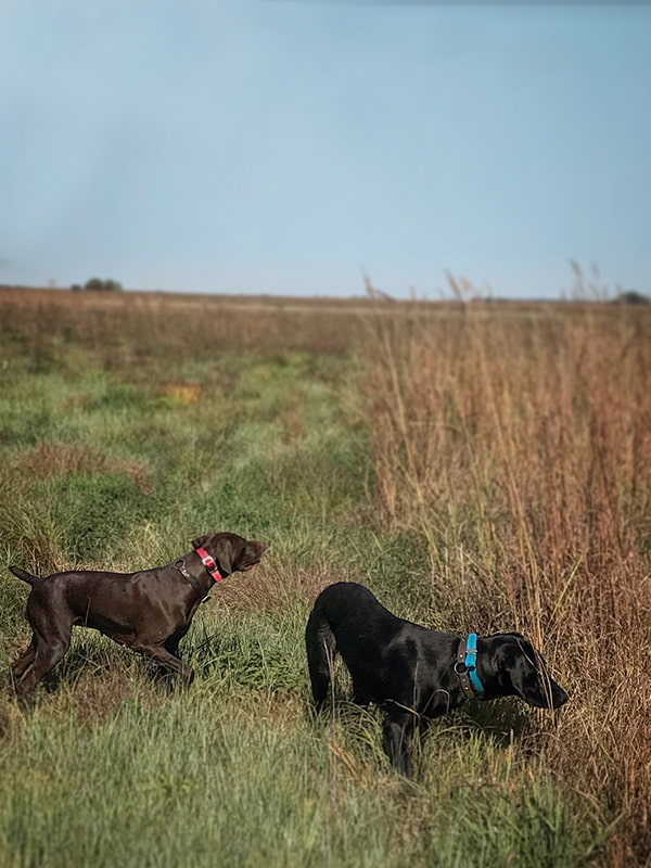German Shorthair Pointer and Labrador Retriever upland hunting | Double A Outfitting & Gun Dogs