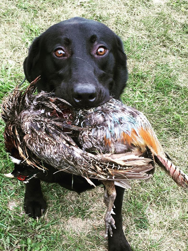 Labrador Retriever with pheasant | Double A Gun Dogs